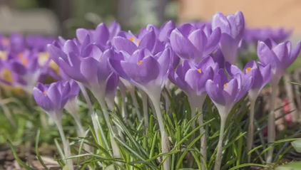 Zeitraffer-Beispiel einer Blume