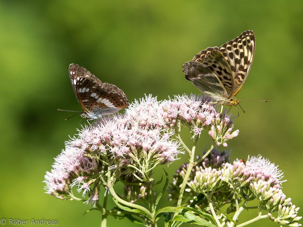 Regelmässige Besucher auch im Garten: Schmetterlinge